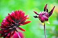 Semi-Kaktus-Dahlie Black Jack 7.jpg
