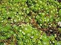 Sempervivum montanum (14309065800).jpg