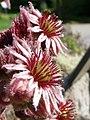 Sempervivum tectorum subsp alpinum2.JPG