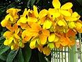 Senna macranthera Flowers.jpg