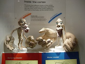 Cortical homunculus - 3-D Sensory and Motor homunculus models at the Natural History Museum, London