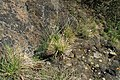 Sesleria caerulea in natural monument Calvary in Motol in spring 2012 (2).JPG