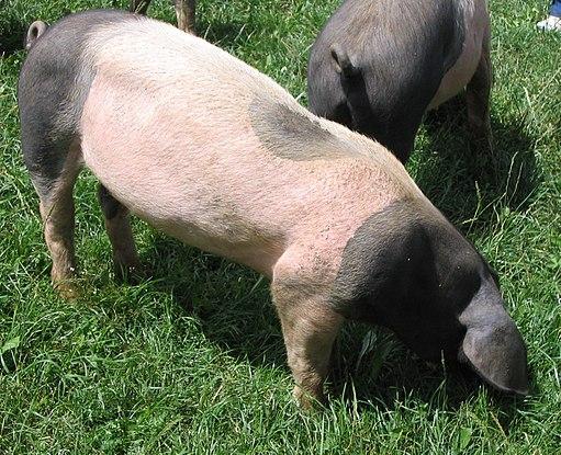 Sh-landschwein