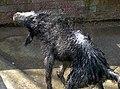 Shaking dog.jpg