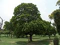Shalamar Garden July 14 2005-A tree.jpg
