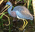 Shark Valley - bird Paradise W of Miami - Tri Colored Heron (Egretta tricolor) - (26872246222).jpg