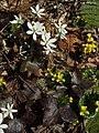Sharp-lobed Hepatica (4506081981).jpg