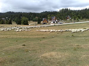 Vlašić (Bosnian mountain) - Sheep on Vlasic mountain