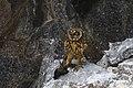 Short-eared Owl (Asio flammeus) & Wedge-rumped Storm Petrel.jpg
