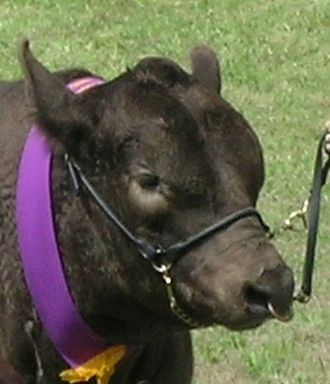 A show halter on a Murray Grey bull Show halter.jpg