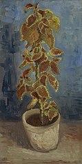 Flame Nettle in a Flowerpot