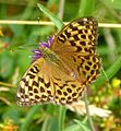Silver-washed Fritillary. Female. - Flickr - gailhampshire.jpg