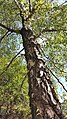 Silver birch, Arnside Knott.jpg