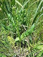Sium latifolium sl1.jpg