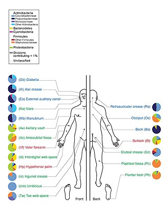 Microbiota - The predominant bacteria on human skin