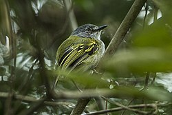 Slate-headed Tody-Tyrant - Colombia S4E9208 (16872160872).jpg