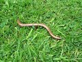 Bestand:Slow worm in grass.ogv