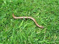 Файл:Slow worm in grass.ogv