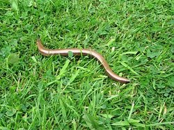 File:Slow worm in grass.ogv