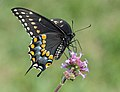 Small farm Swallowtail (3903846592).jpg