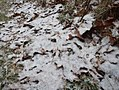Snow-covered leaves - Chequamegon-Nicolet National Forest.jpg