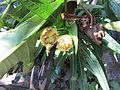 Solanum aviculare fruit (8080006486).jpg