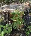 Solanum dulcamara-Habitus.jpg