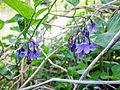Solanum kitagawae.jpg