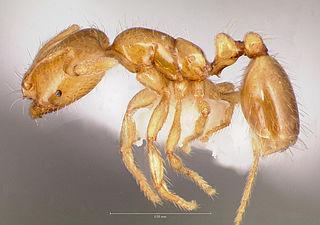 <i>Solenopsis molesta</i> Species of ant