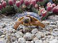 Sonoran Desert Tortoise FWS 11912.jpg