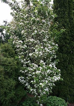 Sorbus alnifolia - Image: Sorbus alnifolia habit