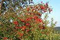 Sorbus aucuparia (fruits).jpg