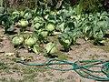 South Central Farm 3.jpg