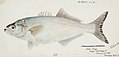 Southern Pacific fishes illustrations by F.E. Clarke 23.jpg