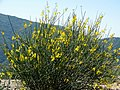 Spanish Broom in San Bernardino Mountains 4-11-15a (16514124724).jpg