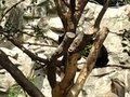 File:Spectacled bear (Tremarctos ornatus) cubs.webm