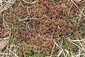 Sphagnum magellanicum (a, 150139-481741) 6957.JPG