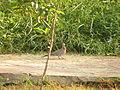 Spilopelia senegalensis (15113523499).jpg