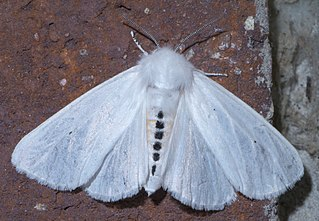 <i>Spilosoma virginica</i> Species of moth
