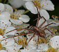 Spinne auf der Hecke 3562.JPG