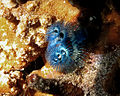Spirobranchus giganteus.jpg