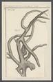 Spongia oculata - - Print - Iconographia Zoologica - Special Collections University of Amsterdam - UBAINV0274 112 02 0062.tif