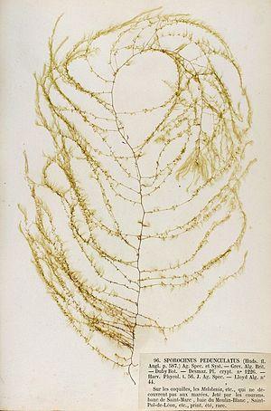 Sporochnaceae - Sporochnus pedunculatus