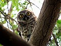 Spotted Owlet IMG 3693.jpg