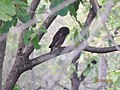 Spotted Owlet at Bandhavgarh National park.jpg
