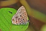 Spotted ciliate blue (Anthene larydas) underside.jpg