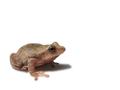Spring Peeper (Pseudacris crucifer) (6239872656).png