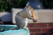 Squirrel eating an ice cream cone (3558009610).jpg