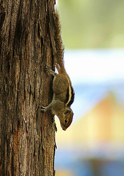 Squirrel on tree in India, 2012.jpg