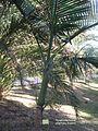 St.leu-conservatoire.botanique.des.mascarins-Hyophorbe.indica.JPG